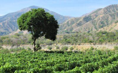 Viñedo exótico con cepas de Italia en los Andes de Colombia